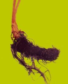 アカショウマの根