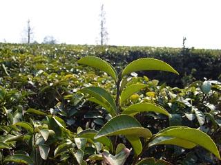 緑茶GREEN_TEA_PE