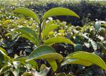 緑茶抽出物(カテキン)