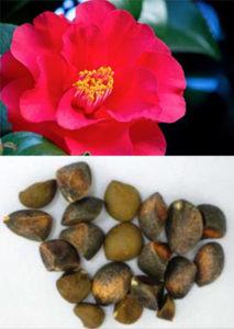 ツバキ種子エキス末/ツバキ種子エキス末-CD25