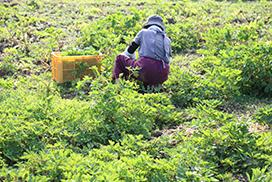 農薬不使用栽培にこだわる