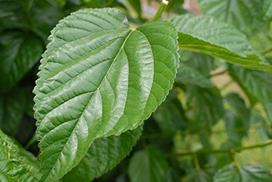 喜界島の桑の葉(シマグワ)