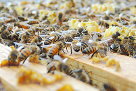 喜界島での養蜂